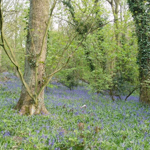 Another view of Bluebells